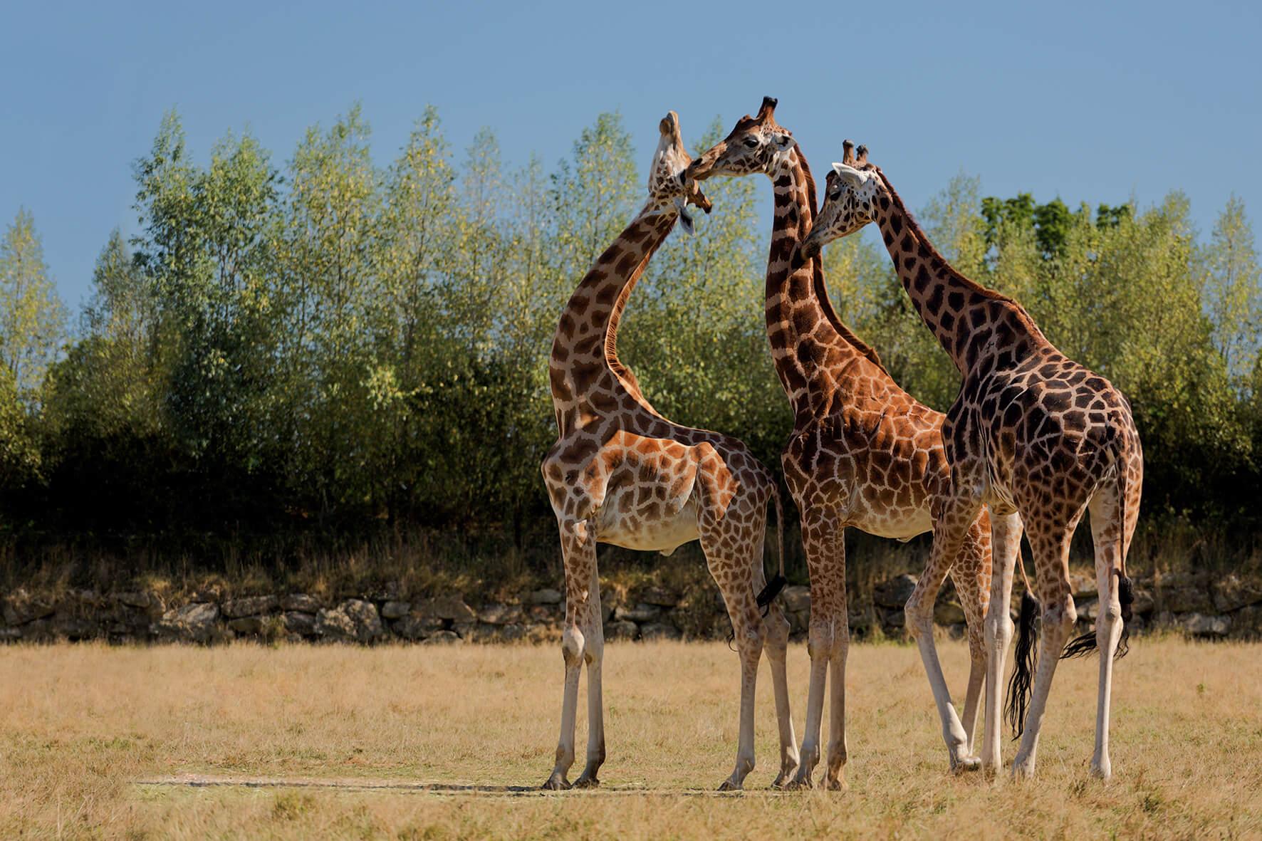 Girafes Branféré