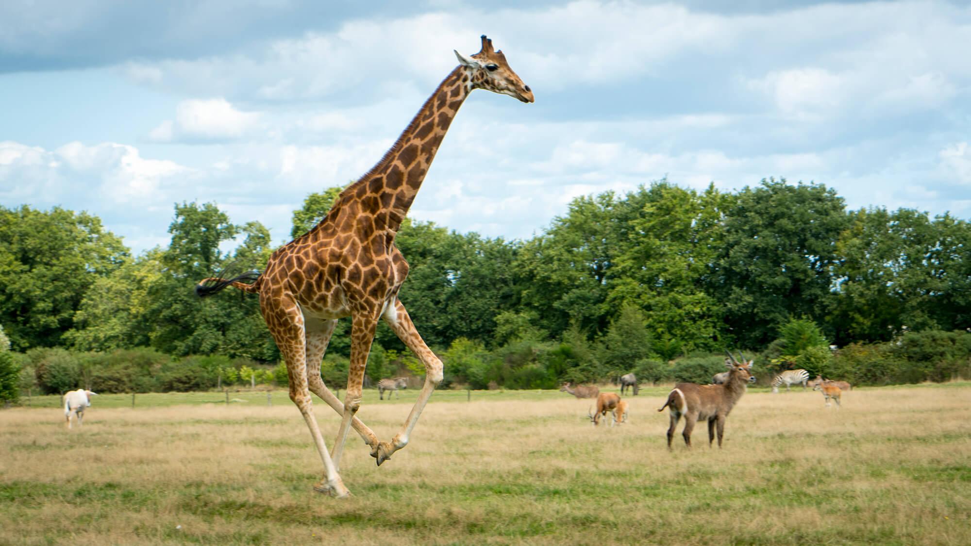girafe plaine africaine branféré