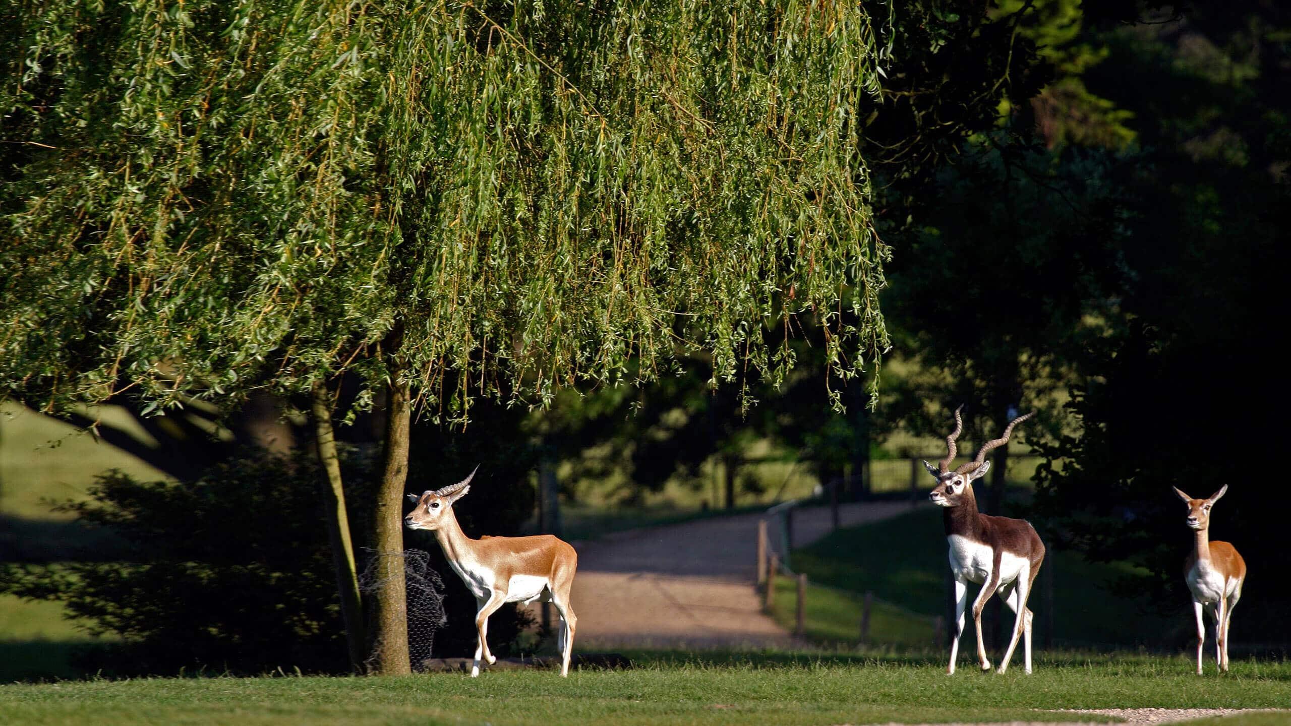 gazelle parc animalier de Branféré
