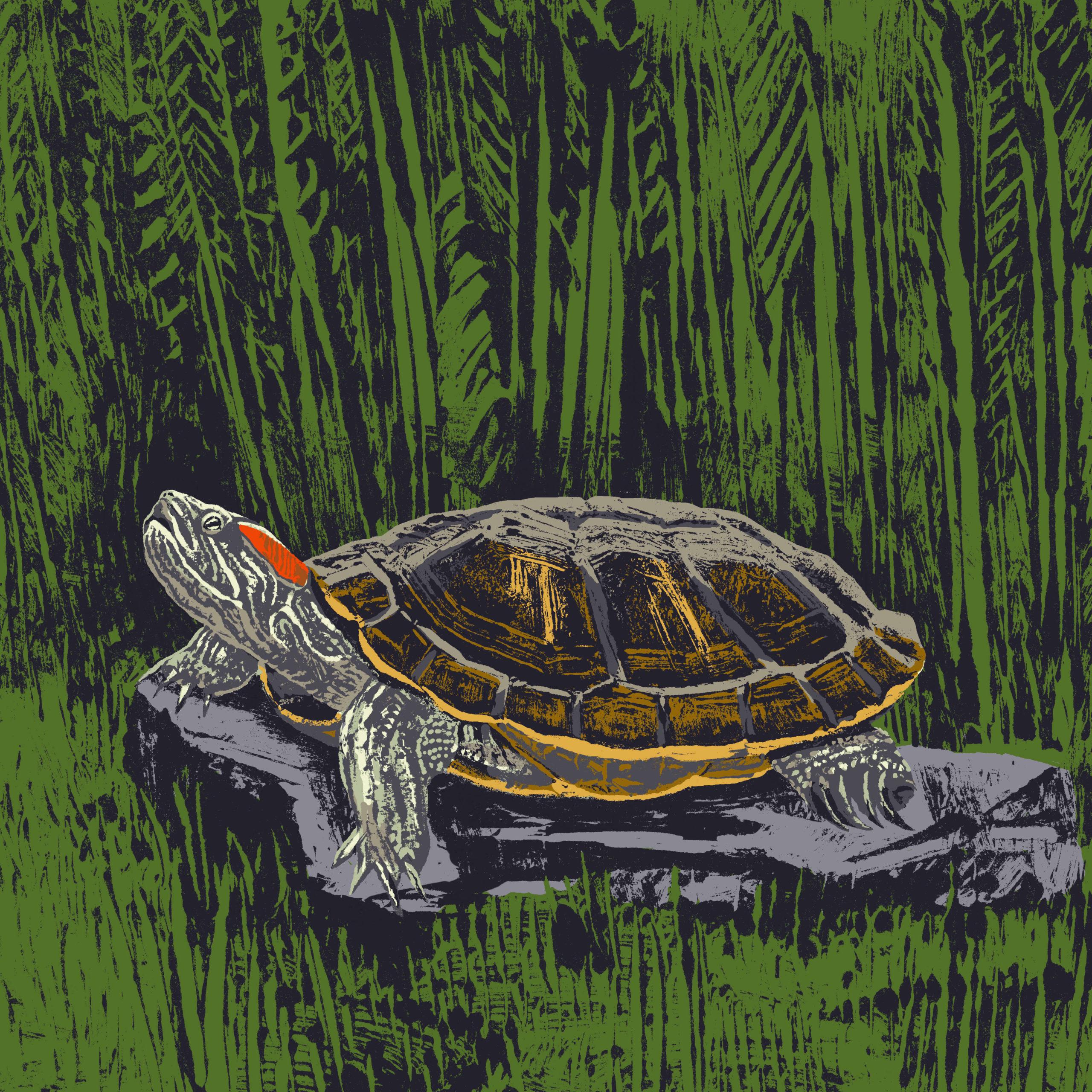 tortue de Floride ou tortue à tempes rouges parc animalier de Branféré