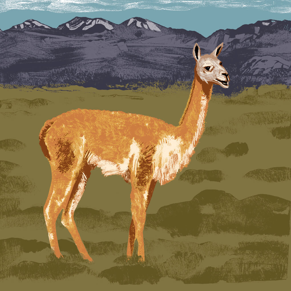 Le guanaco parc animalier de Branféré