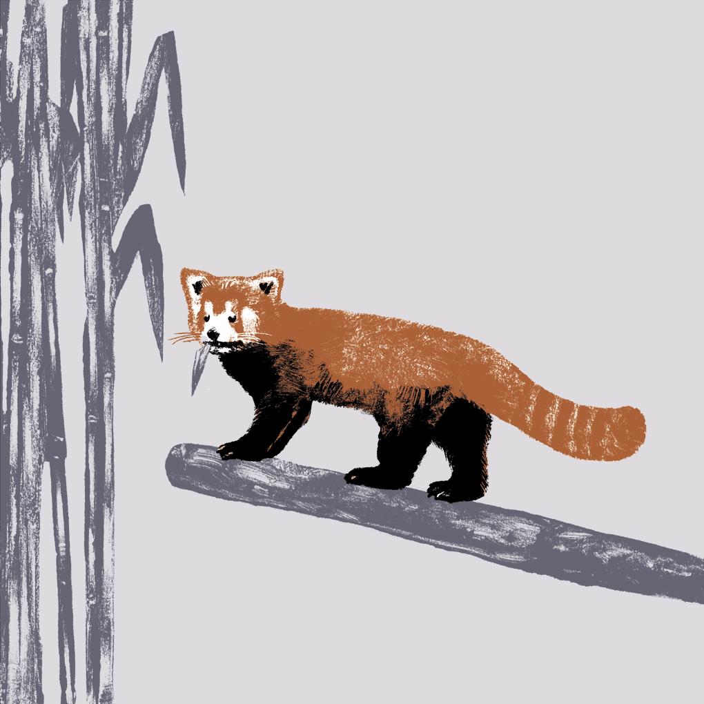 Le panda roux parc animalier de Branféré