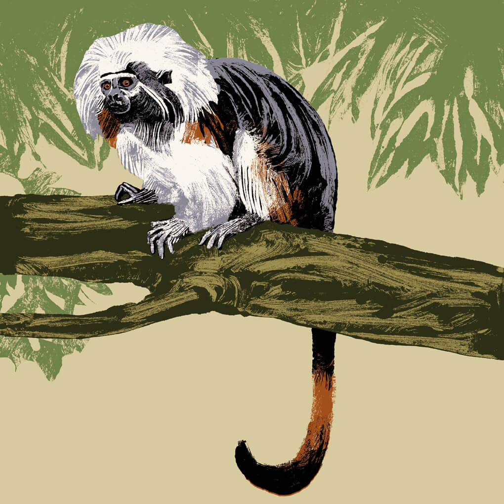 tamarin pinché parc animalier de Branféré
