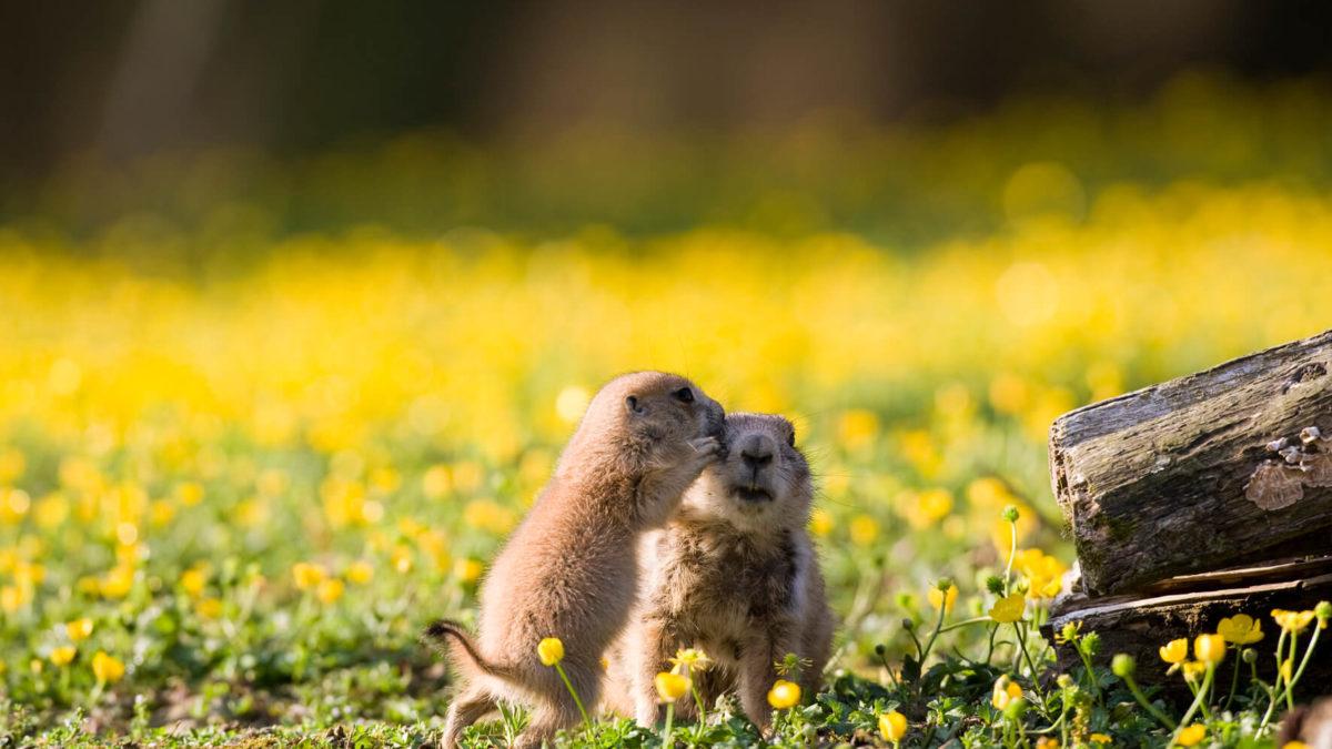 chien de prairie branféré