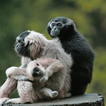 Gibbon Branféré