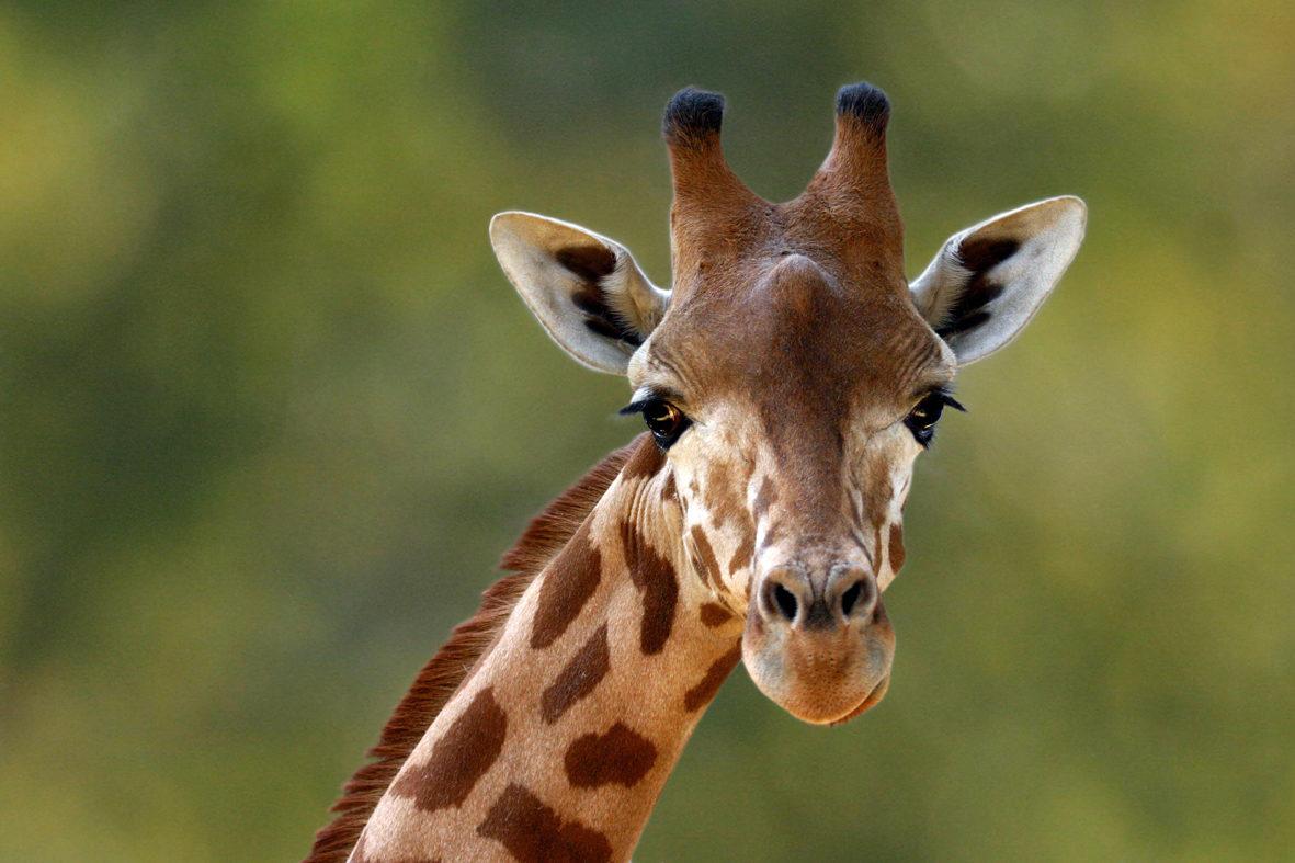 girafe au parc de branféré