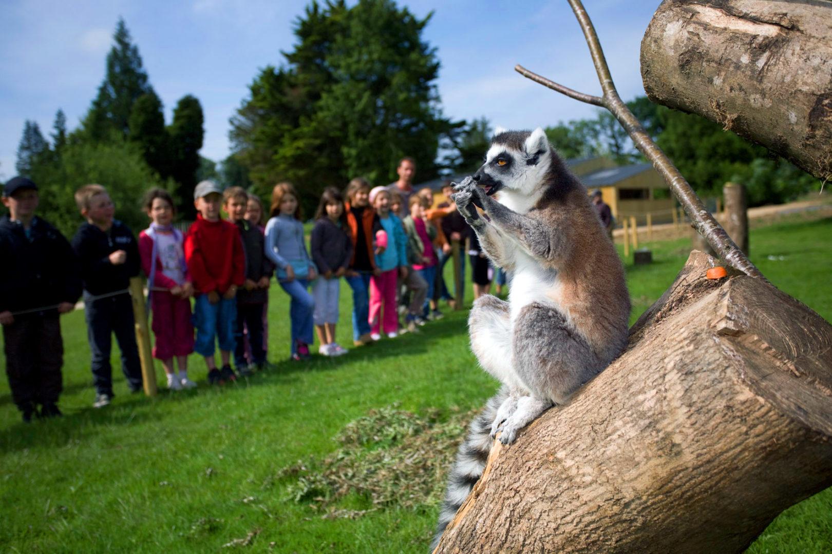 Lémurien parc animalier branféré