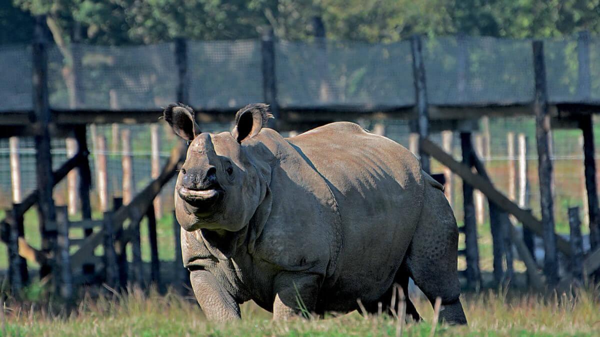 rhinocéros branféré