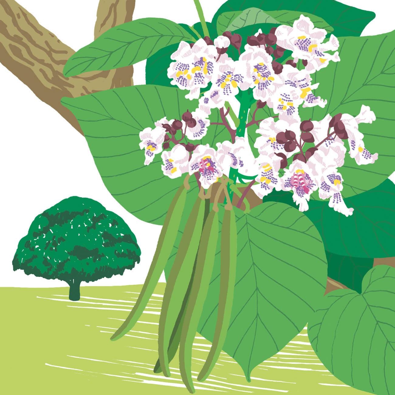 arbre aux haricots parc botanique de Branféré