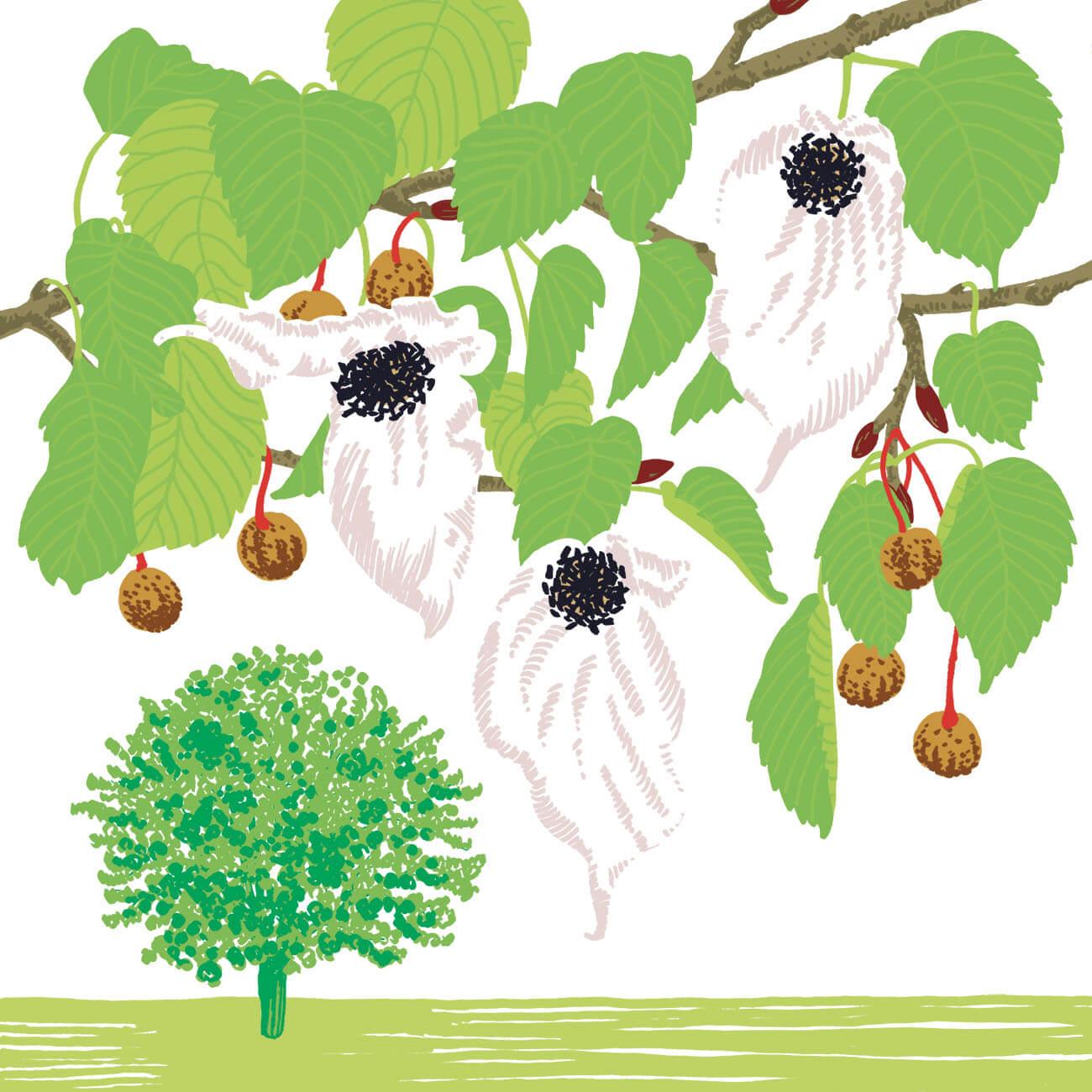 arbre aux mouchoirs parc botanique de Branféré