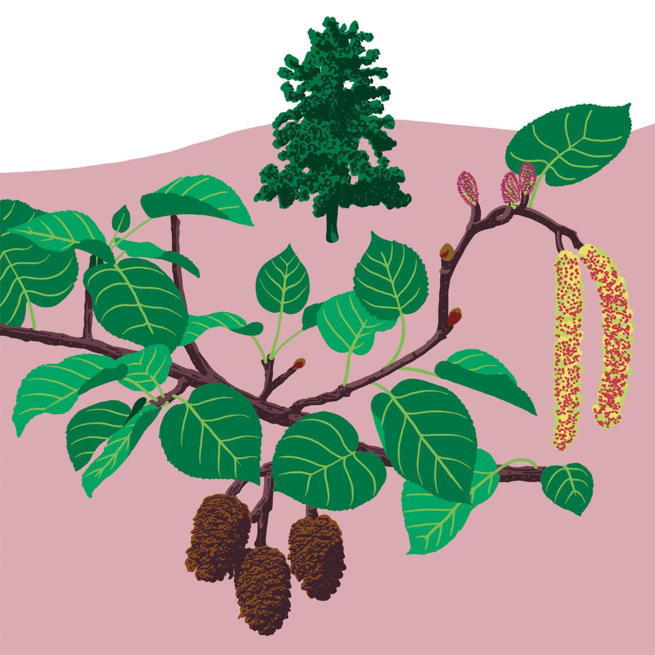 aulne à feuilles en cœur ou Aulne corse parc botanique de Branféré