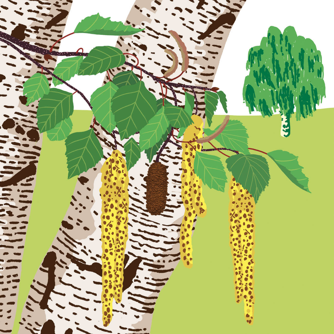 bouleau verruqueux parc botanique de Branféré