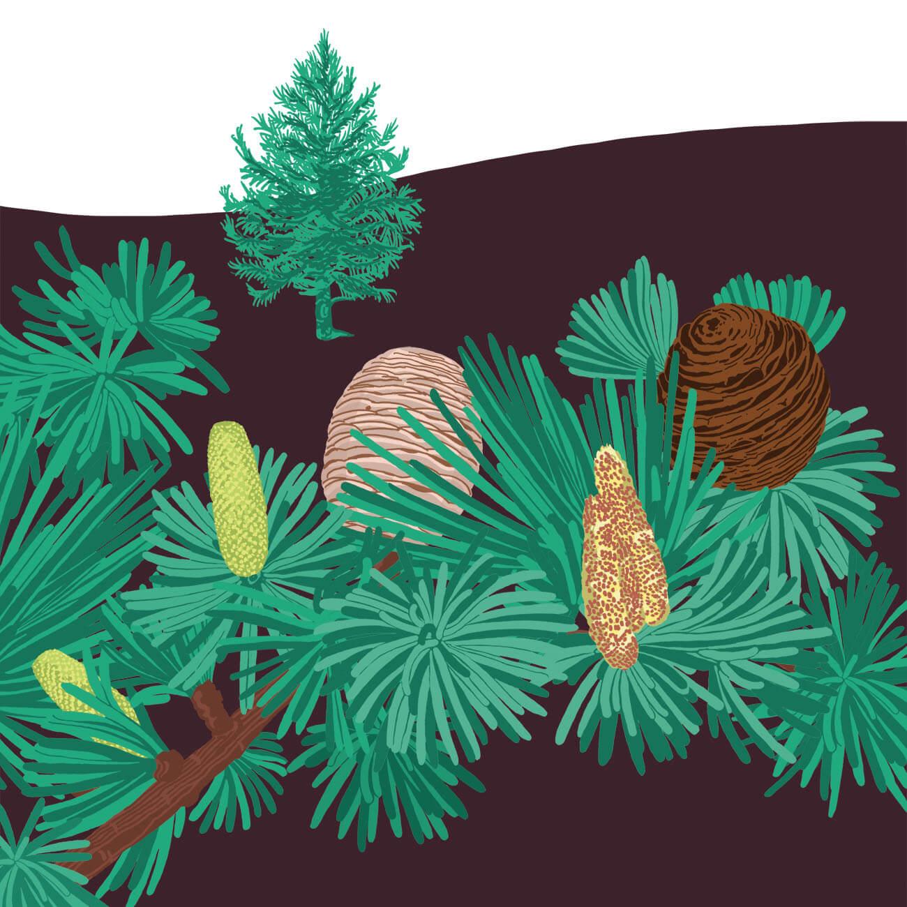 cèdre du Liban parc botanique de Branféré