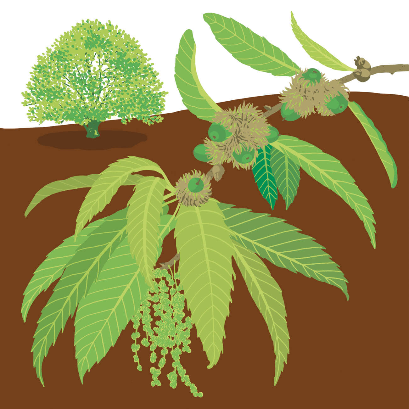 Chêne à feuilles de châtaignier Branféré
