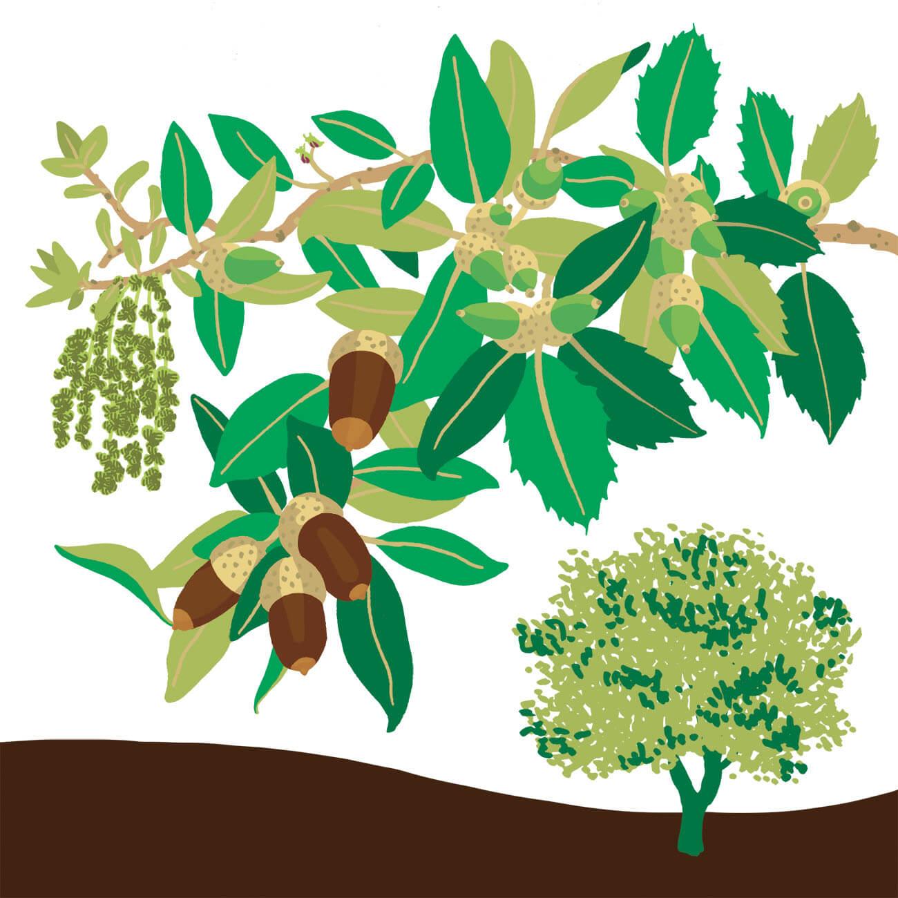 Chêne vert Branféré