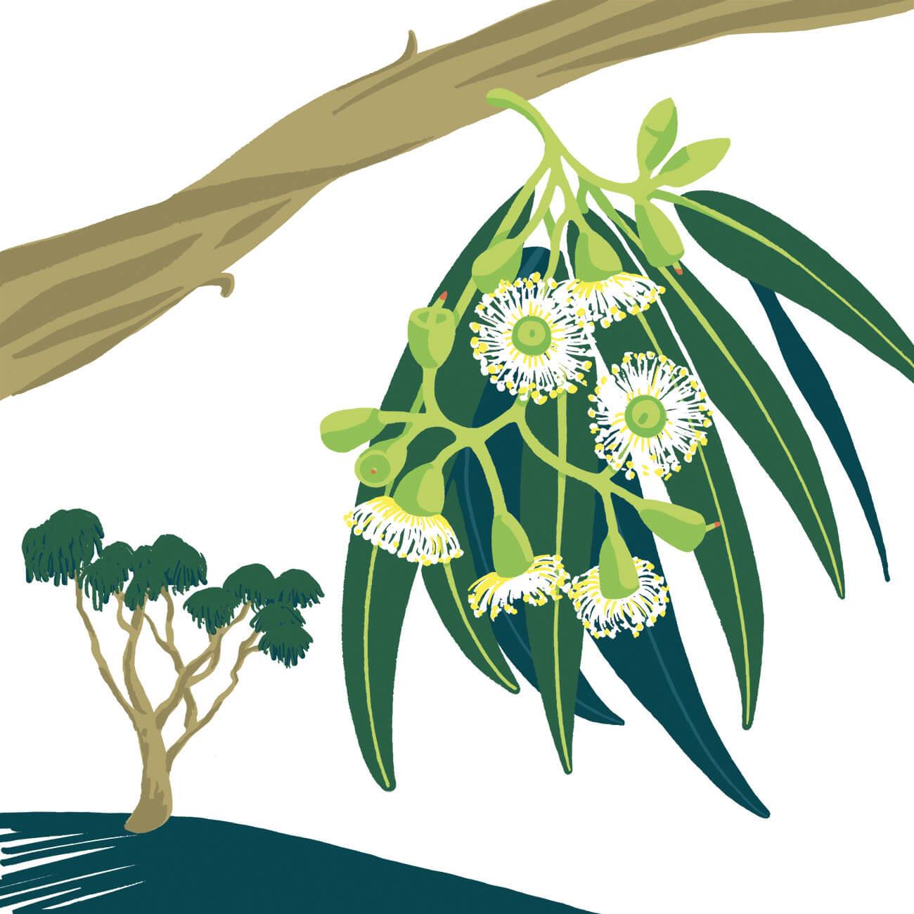 eucalyptus parc botanique de Branféré