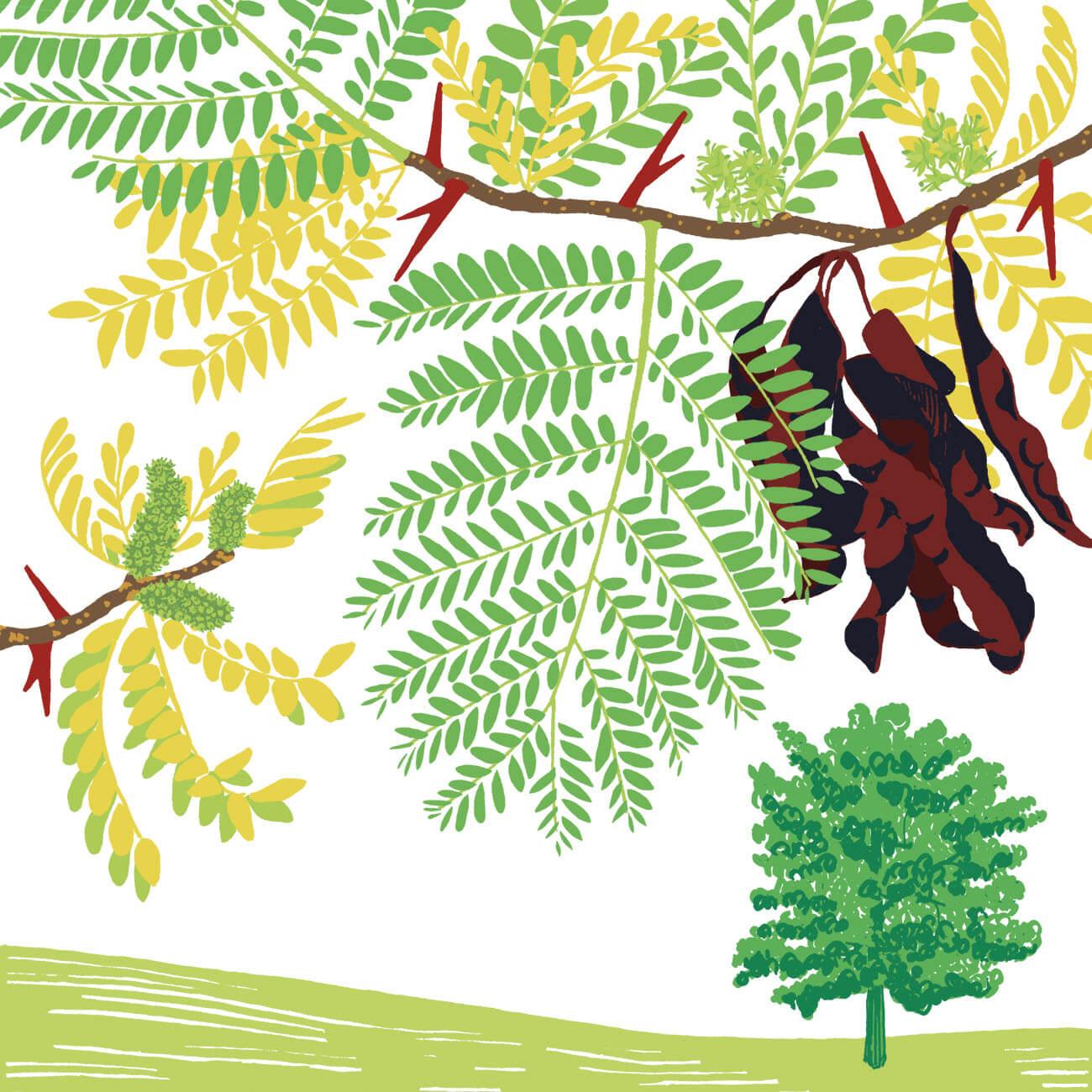 févier d'Amérique parc botanique de Branféré