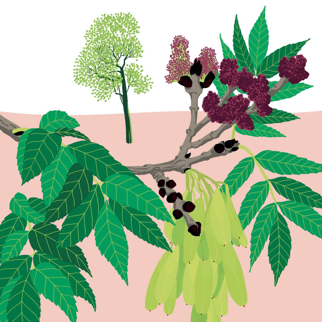 frêne élevé parc botanique de Branféré