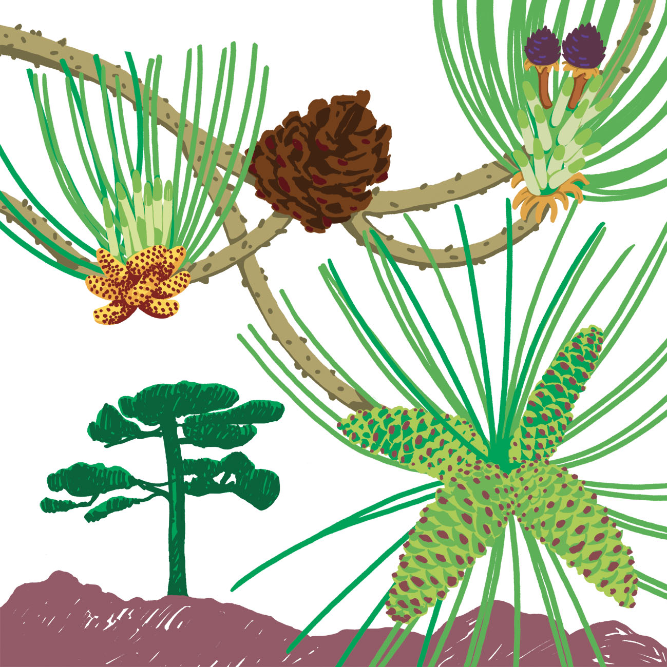 Pin laricio parc botanique de Branféré