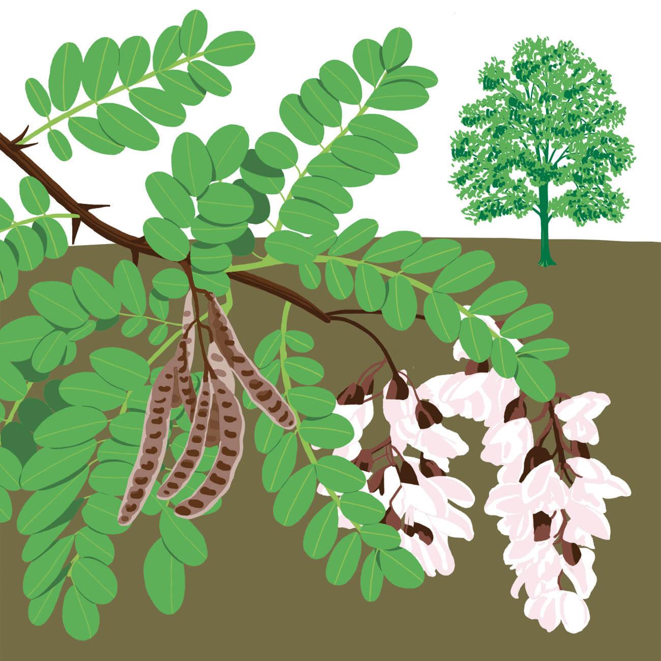 robinier faux acacia parc botanique de Branféré