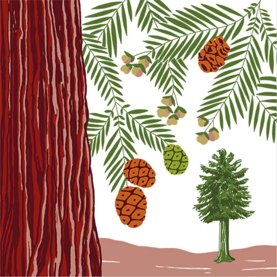 Le Séquoia toujours vert parc botanique de Branféré