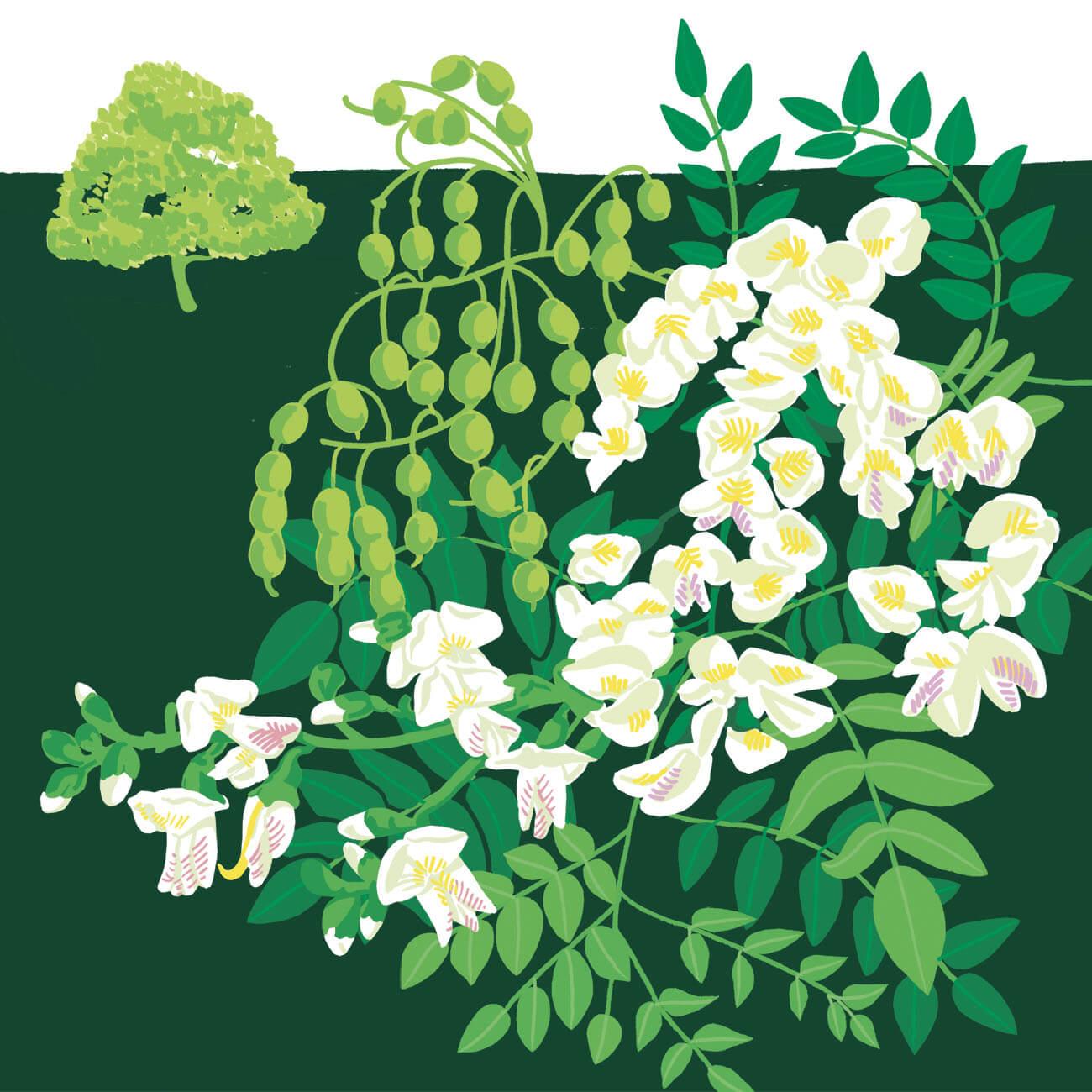 sophore du Japon parc botanique de Branféré