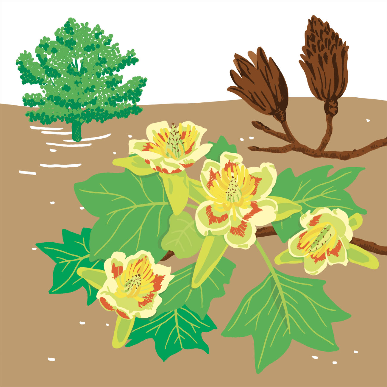 tulipier de Virginie parc botanique de Branféré