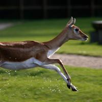 antilope cervicapre parc branféré