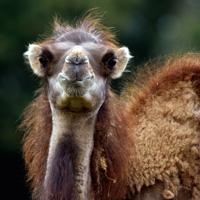 chameau herbivore branféré