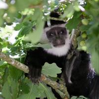 colobe guereza primates