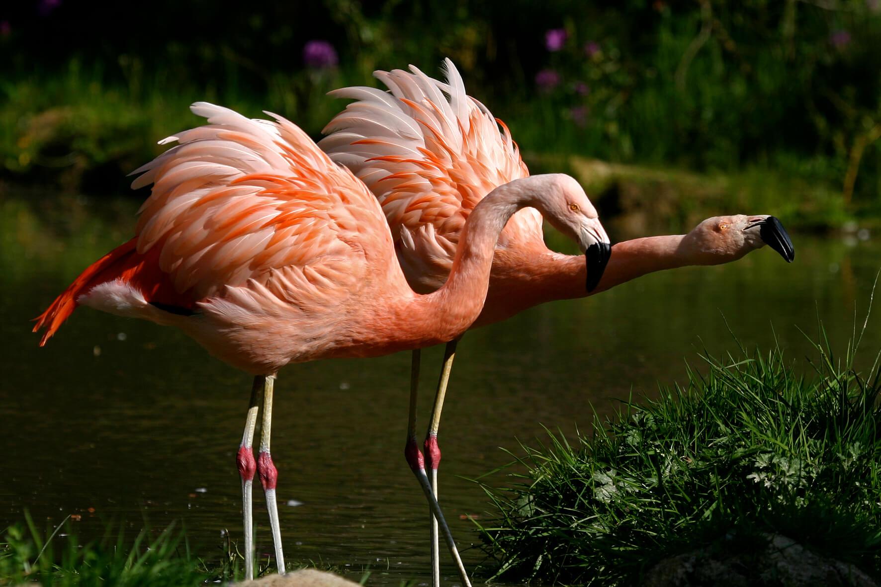 flamants oiseaux branféré