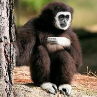 gibbon primates