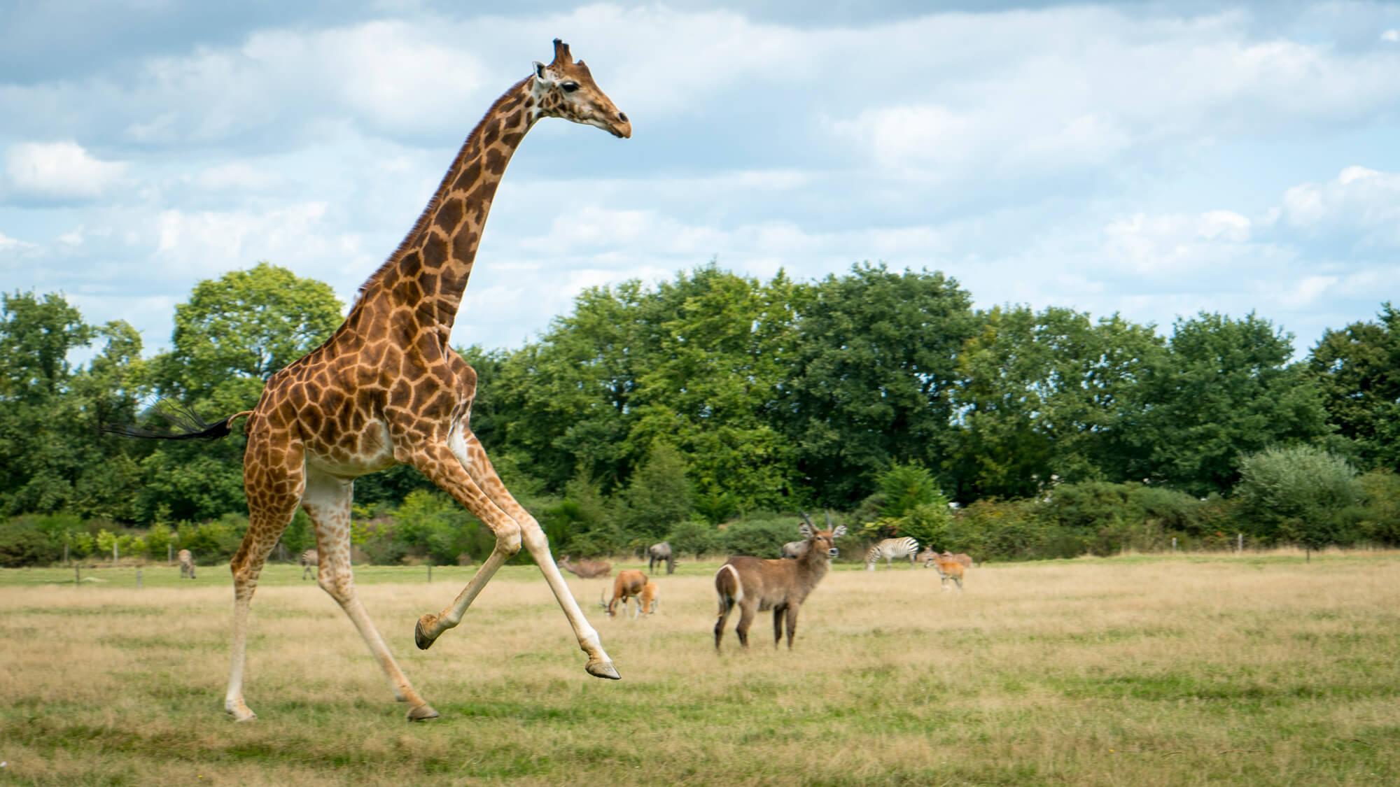girafe animaux afrique