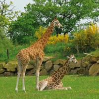 girafes plaine africaine branféré