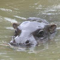 hippopotame plaine africaine