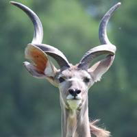 koudou plaine africaine