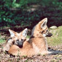 loup à crinière carnivore