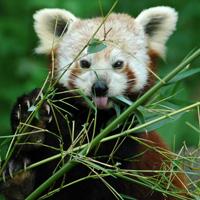panda carnivore