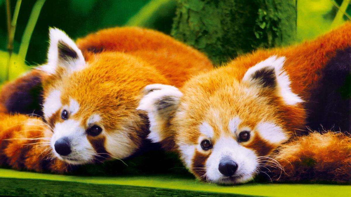 panda roux branféré