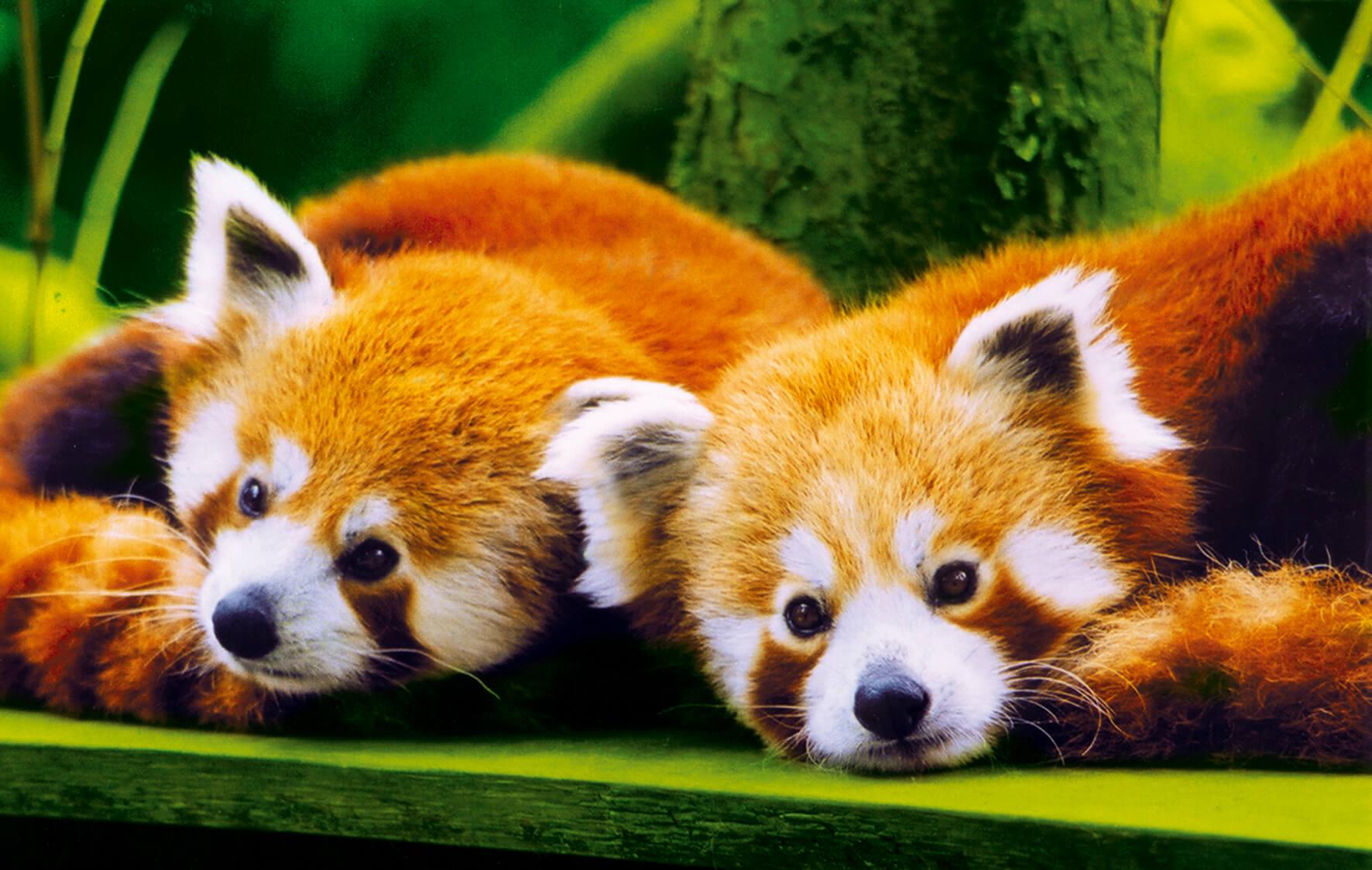 photothèque panda roux
