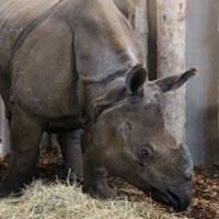 rhinocéros herbivore branféré