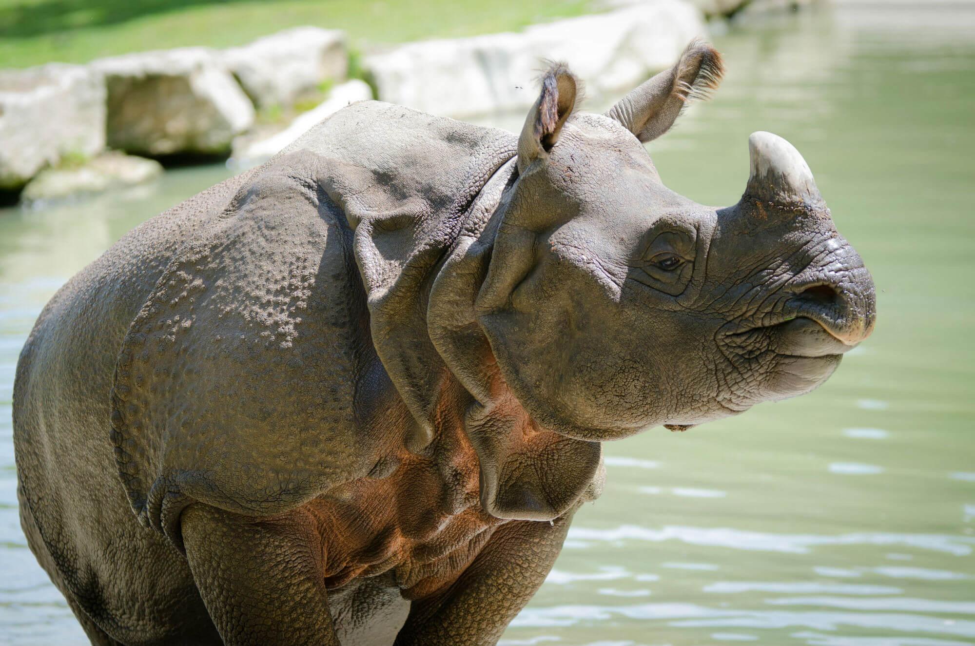 rhinocéros herbivores branféré
