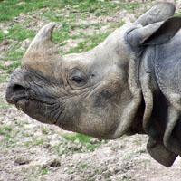 rhinocéros indien parc de Branféré