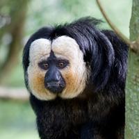 saki face blanche primates