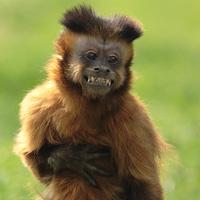 singe capucin primates