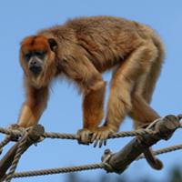 singe hurleur noir primates