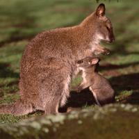 wallaby de bennet rongeur
