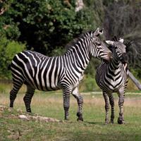 zèbres plaine africaine