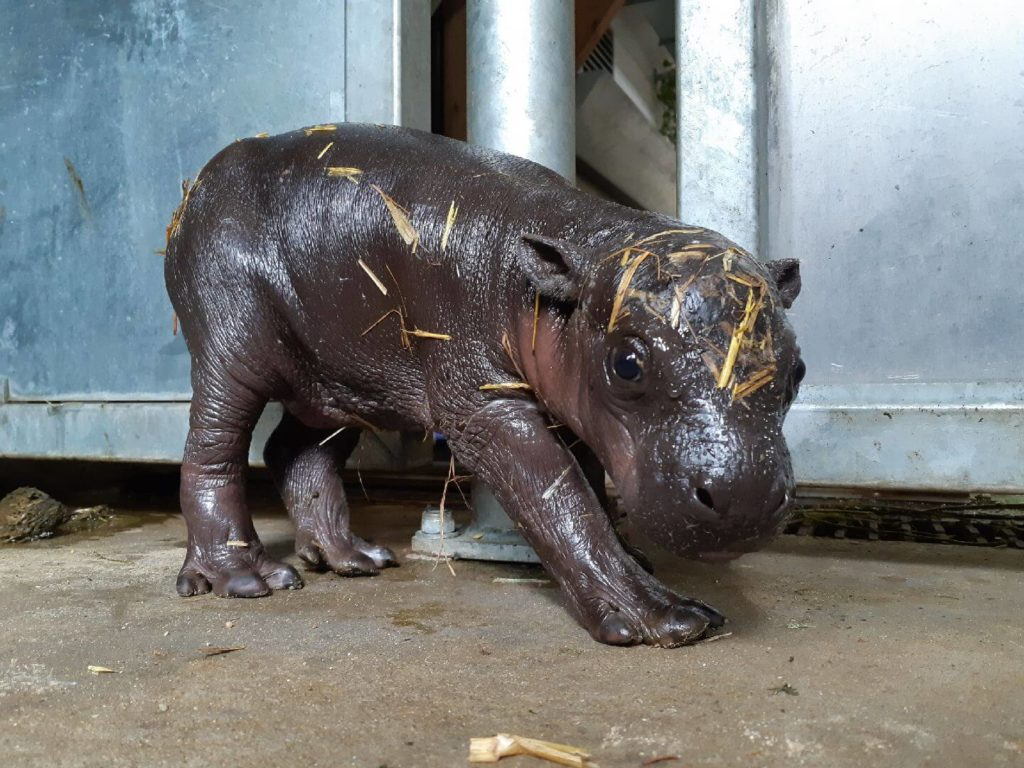 Ouverture du parc : retour sur la naissance du bébé hippopotame pygmée
