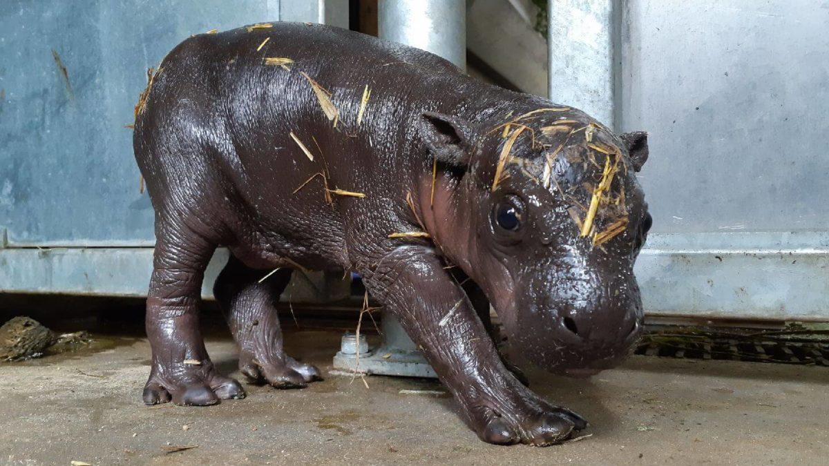 Moyamba, bébé hippopotame pygmée Branféré